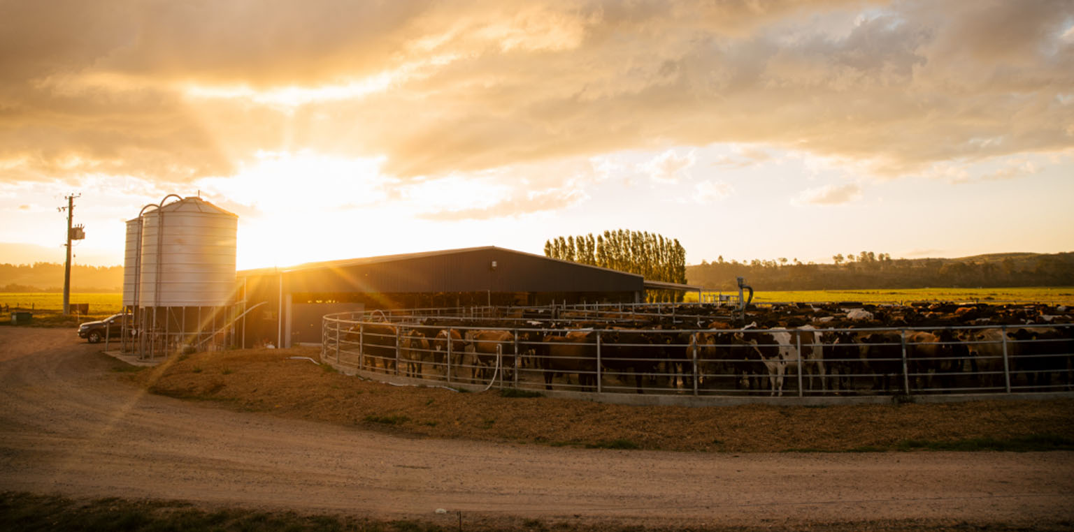 LIC Cows in milking shed image